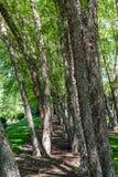 Björkträd på kanten av skogen Arkivfoto