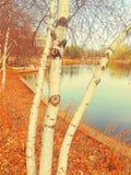 Björkträd som förbiser en sjö Royaltyfria Foton