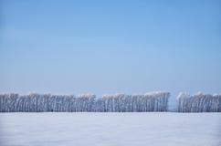 Björkträd under rimfrost i snöfält i vinter kryddar Arkivfoto