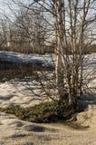 Björkträd utan sidor i tidig vår marsch Arkivbild