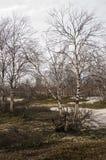 Björkträd utan sidor i tidig vår marsch Arkivbilder