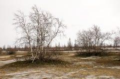 Björkträd utan sidor i tidig vår marsch Fotografering för Bildbyråer