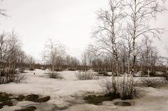 Björkträd utan sidor i tidig vår marsch Royaltyfri Fotografi