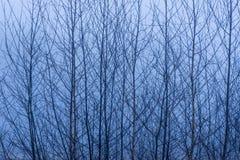 Björkträdfilialer mot en dimmig bakgrund Royaltyfri Bild