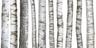 Björkträdstammar på vit Arkivbild
