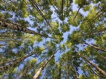 Björkträdstammar som ser upp gr?n leavesfj?der royaltyfria bilder