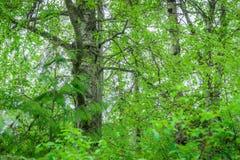 Björkträn gör grön - björkGammal-tillväxt arkivbild
