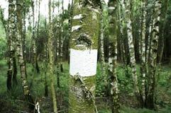 björktrees Royaltyfri Fotografi