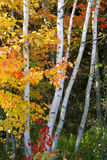 björktrees Royaltyfri Bild