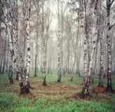 Björktrees i dimman Arkivbild