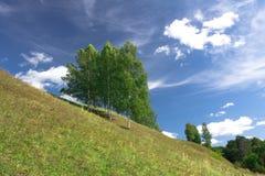 Björktrees som växer på en kull Royaltyfri Bild