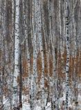björkwhite royaltyfri fotografi