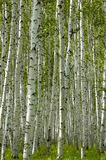 björkwhite arkivfoton