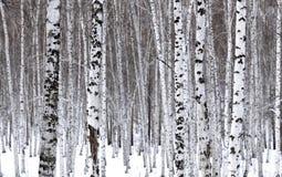björkwhite arkivbild