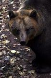 björn Royaltyfri Fotografi
