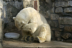 björn royaltyfri foto