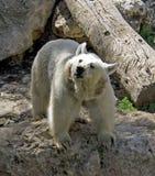 björn Royaltyfria Foton