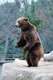 björn Royaltyfria Bilder