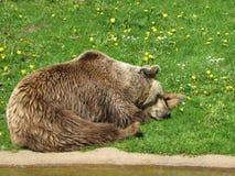 Björn anhydrous Kunskap av naturen Till och med ögonen av naturen arkivbild