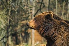 björn bruna kamchatka Royaltyfri Bild