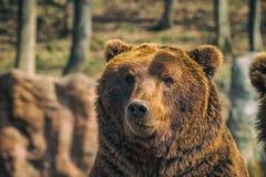 björn bruna kamchatka Arkivfoto