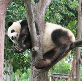 Björn för jätte- panda (gröngölingen) Arkivbild