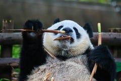 Björn för jätte- panda Sichuan Kina Fotografering för Bildbyråer