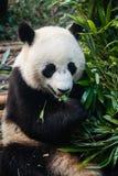Björn för jätte- panda som äter bambu royaltyfria foton