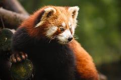Björn för röd panda royaltyfri foto