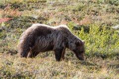 Björn i Alaska Royaltyfria Foton