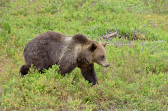 Björn i blåbärbuskar Arkivbilder
