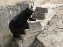 Björn i den moscow zoo Arkivbild