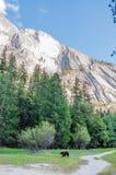 Björn i den Yosemite medborgaren Park& x27; s-spegel sjö Arkivbild