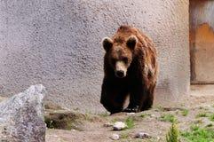Björn i en zoo Royaltyfria Bilder