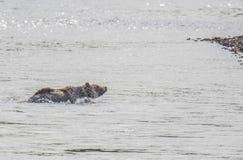 Björn i floden Royaltyfria Bilder