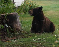 Björn i gården Royaltyfri Bild