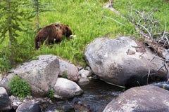 Björn i glaciärnationalpark Royaltyfri Foto