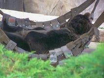 Björn i hängmatta Royaltyfria Foton