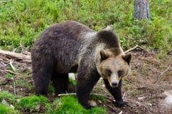 Björn i naturlig omgivning Royaltyfri Fotografi