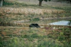 Björn i safarizoo i den Fasano apuliaen Italien arkivfoton