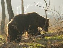 Björn i solnedgången Arkivbilder