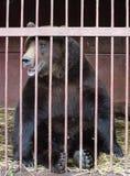 Björn i träldom Fotografering för Bildbyråer