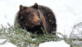 Björn i vinterskog Arkivbilder
