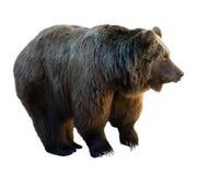 Björn. Isolerat över vit Royaltyfri Bild