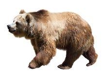 Björn Isolerat över vit arkivfoto