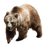 Björn Isolerat på vit royaltyfria bilder