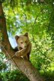 björn little Arkivfoto