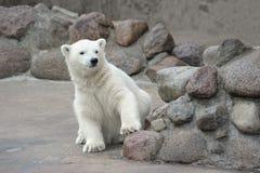 björn little som är polar Royaltyfria Foton