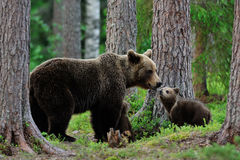 Björn med gröngölingar i skogen Arkivfoton