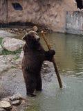 Björn med pinnen royaltyfri foto